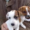Ready Now!! 2 Beautiful Boy Jack Russell Puppies