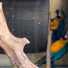 Blue & Gold Macaws Proven Breeding Pair